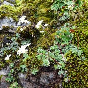 Photographie n°2095485 du taxon Saxifraga paniculata Mill.