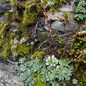 Photographie n°2095492 du taxon Saxifraga paniculata Mill.