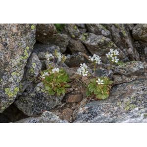 Saxifraga pedemontana All. (Saxifrage du Piémont)