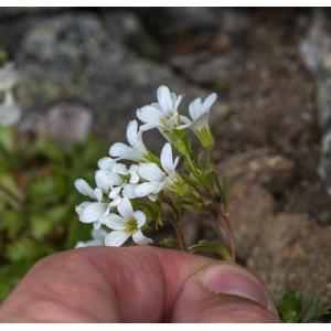 Saxifraga pedemontana All. subsp. pedemontana (Saxifrage du Piémont)