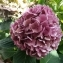 Romain PVR - Hydrangea macrophylla (Thunb.) Ser.