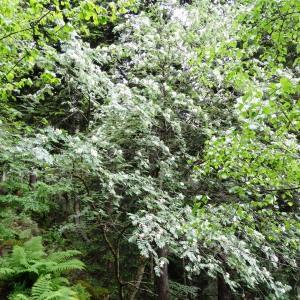 Photographie n°2095827 du taxon Sorbus aucuparia subsp. aucuparia