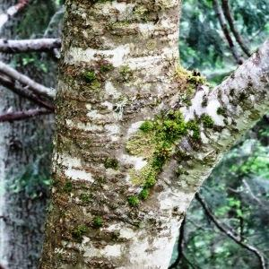 Photographie n°2095828 du taxon Sorbus aucuparia subsp. aucuparia