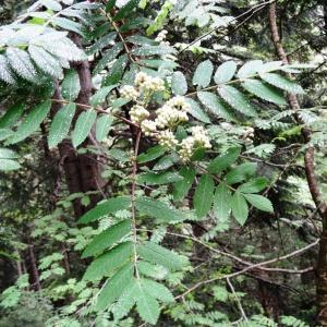 Photographie n°2095830 du taxon Sorbus aucuparia subsp. aucuparia