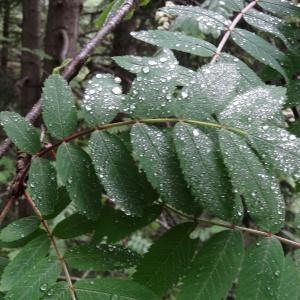 Photographie n°2095831 du taxon Sorbus aucuparia subsp. aucuparia