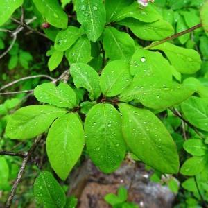 Photographie n°2095836 du taxon Lonicera nigra L. [1753]