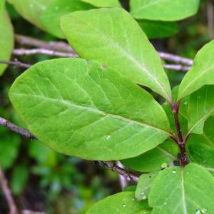 Photographie n°2095837 du taxon Lonicera nigra L. [1753]