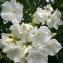 Hicham AMARTI - Nerium oleander L. [1753]