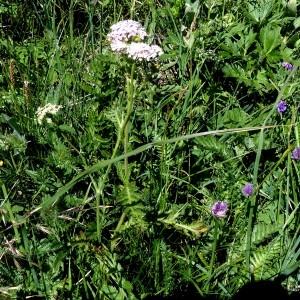 Photographie n°2096069 du taxon Achillea distans Waldst. & Kit. ex Willd. [1803]