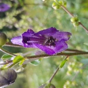 Photographie n°2096152 du taxon Aconitum napellus L. [1753]