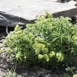 Photographie n°2096254 du taxon Alchemilla alpina L.