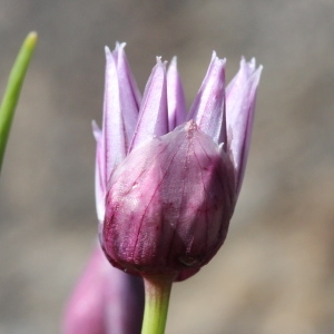 Photographie n°2096267 du taxon Allium schoenoprasum L.