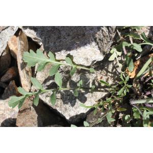 Coincya monensis (L.) Greuter & Burdet