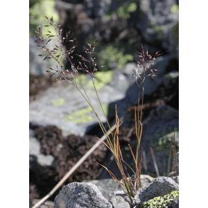 Agrostis alpina Scop. (Agrostide des Alpes)
