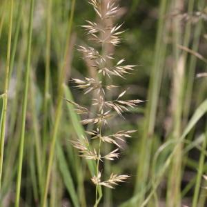 Photographie n°2096424 du taxon Calamagrostis arundinacea (L.) Roth [1788]