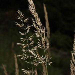 Photographie n°2096425 du taxon Calamagrostis arundinacea (L.) Roth [1788]