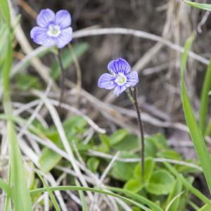 Photographie n°2096865 du taxon Veronica aphylla L. [1753]
