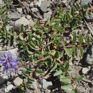 Photographie n°2097056 du taxon Veronica allionii Vill. [1779]