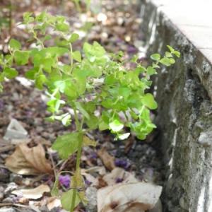 Photographie n°2097153 du taxon Euphorbia peplus L. [1753]