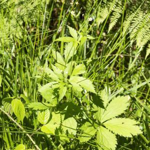 Photographie n°2097237 du taxon Ranunculus aconitifolius L. [1753]
