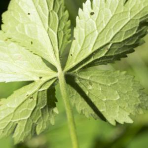 Photographie n°2097239 du taxon Ranunculus aconitifolius L. [1753]