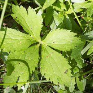 Photographie n°2097242 du taxon Ranunculus aconitifolius L. [1753]