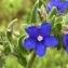 Heinz Gass - Anchusa officinalis L. [1753]