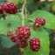 Louis BUCHALET - Rubus L.