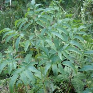 Photographie n°2097403 du taxon Angelica sylvestris L. [1753]