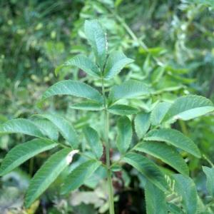 Photographie n°2097405 du taxon Angelica sylvestris L. [1753]