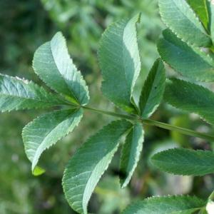 Photographie n°2097406 du taxon Angelica sylvestris L. [1753]