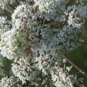 Photographie n°2097413 du taxon Angelica sylvestris L. [1753]