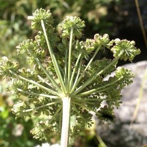 Photographie n°2097415 du taxon Angelica sylvestris L. [1753]