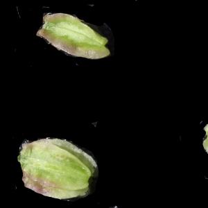 Photographie n°2097422 du taxon Angelica sylvestris L. [1753]