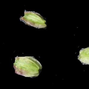 Photographie n°2097423 du taxon Angelica sylvestris L. [1753]