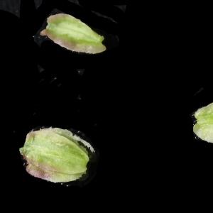 Photographie n°2097424 du taxon Angelica sylvestris L. [1753]