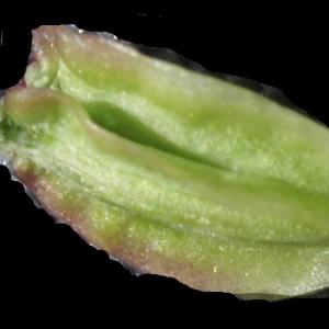 Photographie n°2097425 du taxon Angelica sylvestris L. [1753]