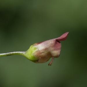 - Scrophularia nodosa L. [1753]