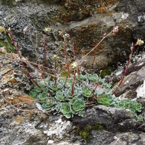 Photographie n°2097732 du taxon Saxifraga paniculata Mill.
