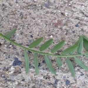 Photographie n°2097757 du taxon Vicia cracca L. [1753]