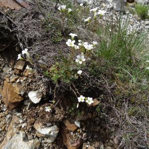 Photographie n°2097813 du taxon Saxifraga granulata L.