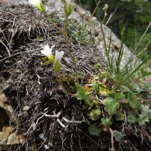 Photographie n°2097815 du taxon Saxifraga granulata L.