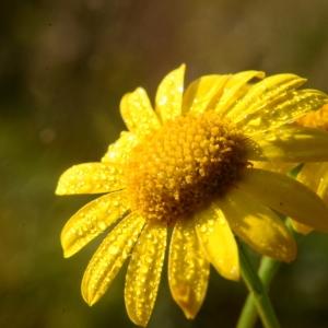 Photographie n°2097905 du taxon Jacobaea vulgaris Gaertn. [1791]