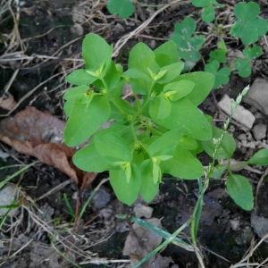 Photographie n°2097967 du taxon Euphorbe des jardins