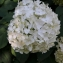 Thomas DESNOYERS - Hydrangea macrophylla (Thunb.) Ser.