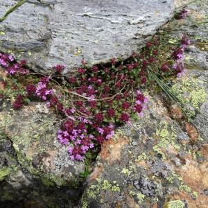 Photographie n°2098024 du taxon Thymus praecox subsp. praecox