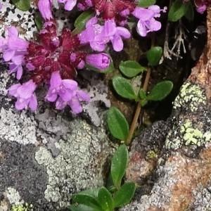 Photographie n°2098025 du taxon Thymus praecox subsp. praecox