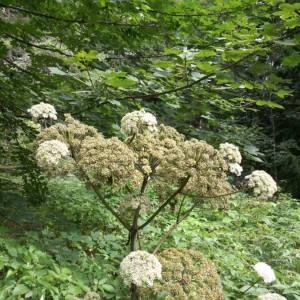 Photographie n°2098152 du taxon Angelica sylvestris L. [1753]