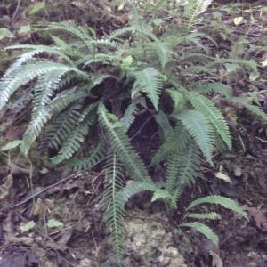 Photographie n°2098198 du taxon Blechnum spicant (L.) Roth