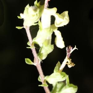 Photographie n°2098275 du taxon Teucrium scorodonia L.